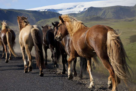 location shot: Icelandic horses running down a road while being driven from one field to another. Shot on location in Iceland in early evening golden light.