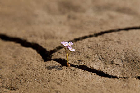 A macro shot of a small flower growing out of a crack in dry earth. photo