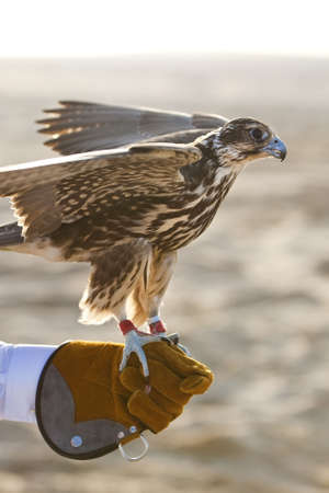tethered: A falcon on falconer;s glove, shot in a middle eastern Arabian desert location.