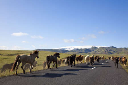 icelandic: Icelandic horses galloping down a road, illuminated by golden evening light. Shot on location in Iceland.