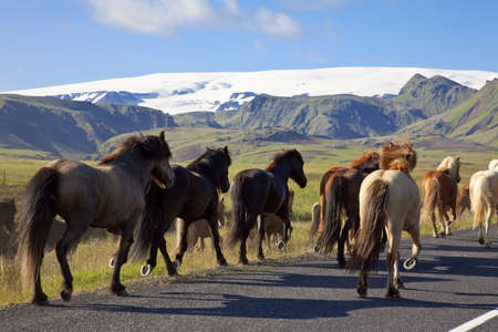 location shot: Icelandic horses galloping down a road, illuminated by golden evening light. Shot on location in Iceland.
