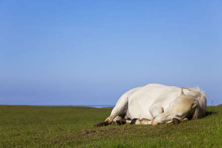 calm down: An white horse eyes closed laying down and sleeping in a field