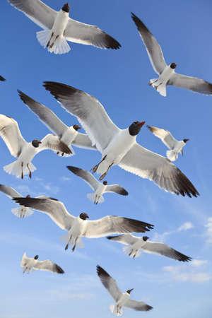A flock of common black headed-gulls, Chroicocephalus Ridibundus, sea gulls, flying over a beach in a clear blue sky