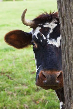 A normandy cow looking out from behind a tree photo