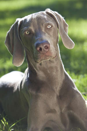 Weimaraner Dog laying calmly in a park in summer sunshine Stock Photo - 14983227
