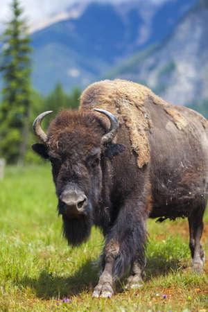 american bison: American Bison  Bison Bison  or Buffalo