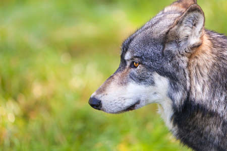 canis lupus: North American Gray Wolf, Canis Lupus