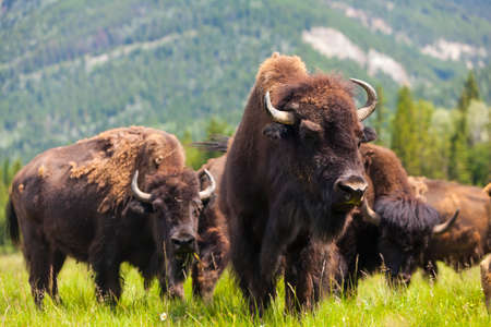 Herd of American Bison  Bison Bison  or Buffalo