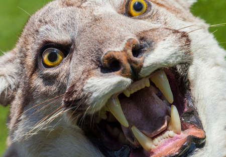 ferocious: Cougar, North American Mountain Lion, Puma Concolor  Stock Photo