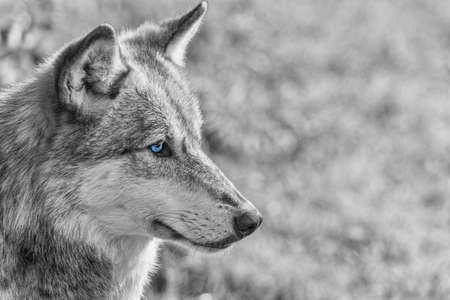 black wolf: Black and white photograph of North American Gray Wolf, Canis Lupus, with blue eyes