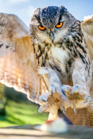 talons: European or Eurasian Eagle Owl, Bubo Bubo, with big orange eyes landing on a tree stump