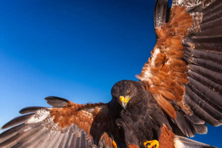 attacking: Harris Hawk, Parabuteo Unicinctus, in flight and landing  Bird of prey native to the southwestern United States of America south to Chile and central Argentina