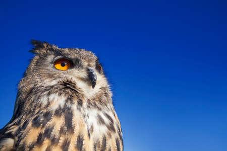 big ear: European or Eurasian Eagle Owl, Bubo Bubo, with big orange eyes against a dark blue evening night sky