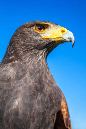 hawk: Harris Hawk, Parabuteo Unicinctus, in profile against a blue sky  Bird of prey native to the southwestern United States of America south to Chile and central Argentina