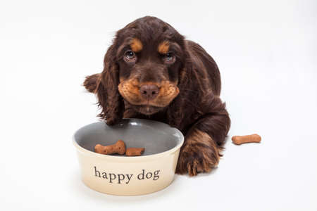 boned: Cute Cocker Spaniel puppy dog looking up from eating boned shaped biscuits in Happy Dog bowl