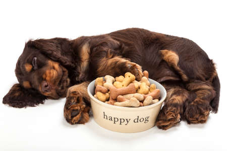 boned: Cute Cocker Spaniel puppy dog sleeping by Happy Dog bowl of boned shaped biscuits