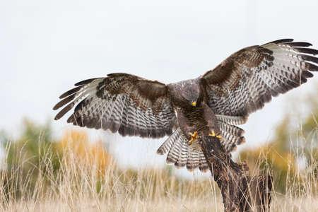 Ein wilder Bussard fliegen, Flügel ausbreiten und die Landung auf einem alten Baumzweig in der Landschaft. Der Bussard ist ein Raubvogel in der Hawk und Eagle Familie.