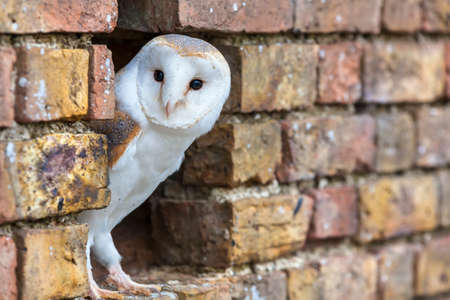A white Barn Owl looking out from its hole in a wall