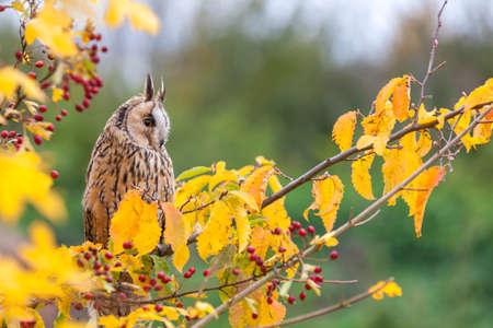 eared: Long eared owl sitting in a tree Stock Photo