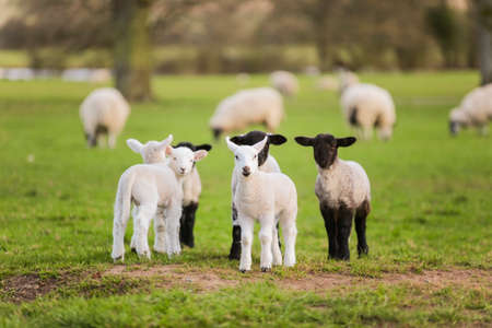 Young baby spring lambs and sheep in a green farm field Stockfoto