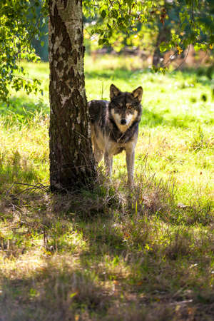 lupus: North American Gray Wolf, Canis Lupus, standing in a forest