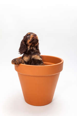 big flower: Cute Cocker Spaniel puppy dog looking up expectantly from inside a big flower pot