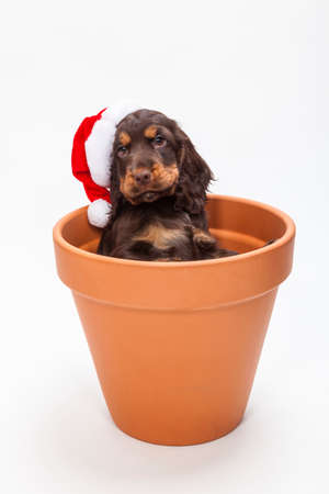 big flower: Cute Cocker Spaniel puppy dog wearing a Christmas Santa hat looking out from inside a big flower pot Stock Photo