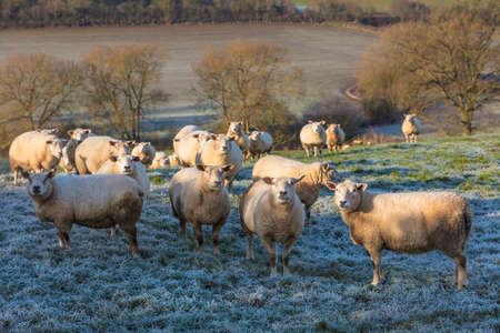 british english: Sheep in a cold frosty winter farm field set in the English or British countryside