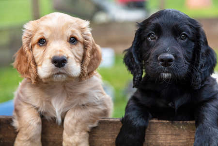 Cute black and brown puppy dogs, two puppies, together leaning on a wooden fence outside Banque d'images