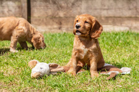 Two Cute Brown Puppy Dogs Playing on Grass in a Park or Garden Banque d'images