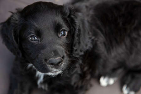 Cute black puppy dog laying down looking into camera
