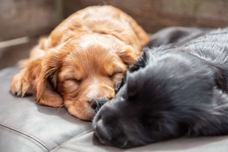 Cute black and brown puppy dogs sleeping in sunshine on a cushion