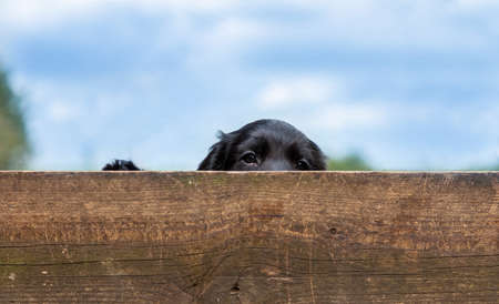 Cute black puppy dog looking over a wooden fence outside in summer Standard-Bild