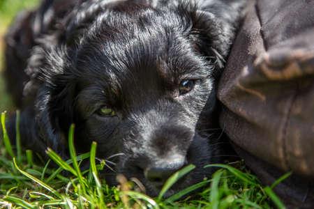 Cute black puppy dog sleeping in sunshine on grass next to a cushion Standard-Bild