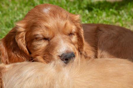Cute golden brown puppy dogs sleeping in sunshine outside on grass Standard-Bild