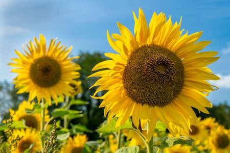 Sunflower in a field of sunflowers in summer sunshine Standard-Bild
