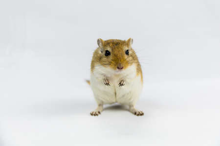 a brown and white gerbil, rodent, on white background Imagens