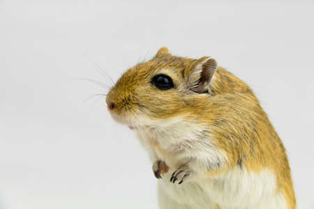 a brown and white gerbil, rodent, on white background Stock Photo