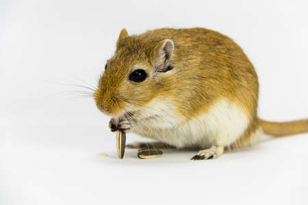 a brown and white gerbil eating a pipe on white background Stock Photo