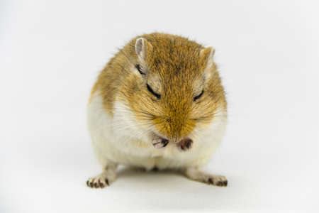 a brown and white gerbil eating a pipe on white background