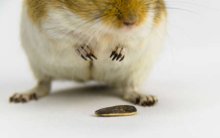 a brown and white gerbil eating a pipe on white background Stock fotó