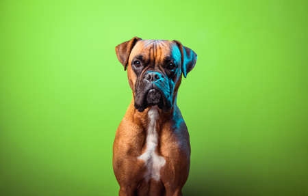 Portrait of cute boxer dog on colorful backgrounds, orange
