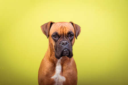 Portrait of cute boxer dog on colorful backgrounds, yellow, copy space