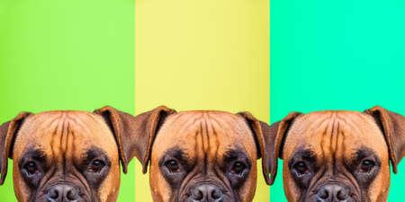 Portrait collage of boxer dog face on colors background, copy space Standard-Bild