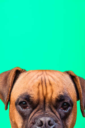 Portrait of cute boxer dog on colorful backgrounds, turquoise, copy space Standard-Bild