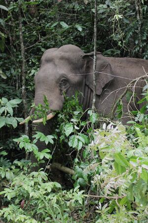 evergreen forest: wild asia elephant in evergreen forest from thailand Stock Photo