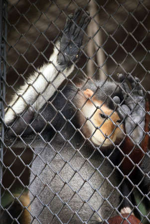 despondent: sadness red shanked douc  in a cage Stock Photo
