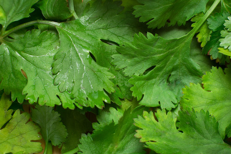 close up pile of  coriander leaf on as a background Stock Photo