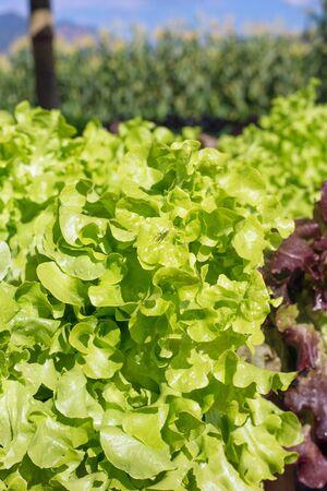 fresh lettuce leaf in a farm. Stock Photo