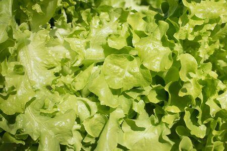 close up  fresh lettuce leaf Stock Photo